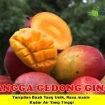 Bibit Mangga Gedong Gincu 150cm