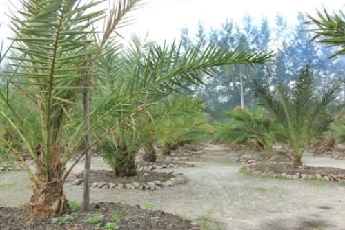 Budidaya Pohon Kurma Tropis