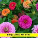 Benih Bunga Zinnia Mix Color (Maica Leaf)