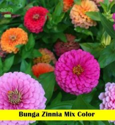 Bunga Zinnia Maica Leaf