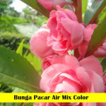Benih Bunga Pacar Air Mix Color (Maica Leaf)