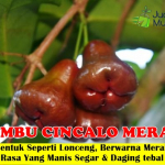 Bibit Jambu Air Cincalo Merah 70cm