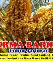 Buah Kurma Barhee
