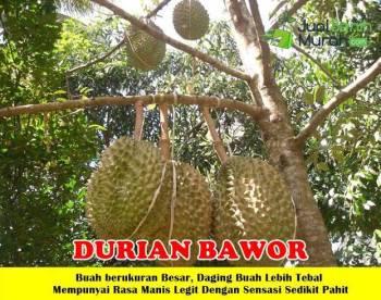 Buah Durian Bawor Unggul