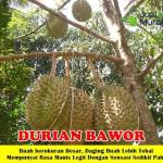 Bibit Durian Bawor 70cm