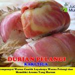 Bibit Durian Pelangi 3 Kaki 150cm