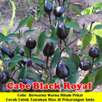 Bibit Cabe Black Royal 50cm