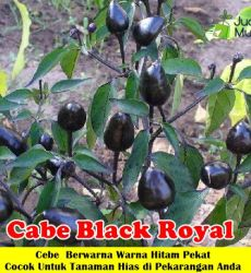 Cabe Black Royal
