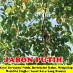 Bibit Kayu Jabon Putih 70cm