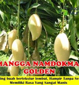 Mangga Namdokmai Golden