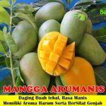 Bibit Mangga Arumanis 70cm