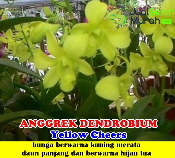Anggrek Dendrobium Yellow Cheers