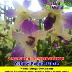 Tanaman Anggrek Dendrobium Yellow Purple Blush