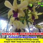 Tanaman Anggrek Dendrobium Yellow Purple Tongue
