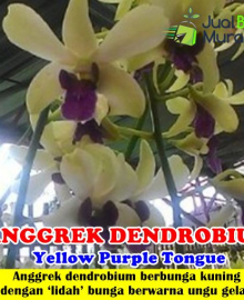 Anggrek Dendrobium Yellow Purple Tongue