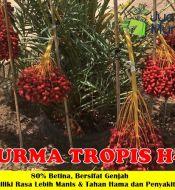 Kurma Tropis H1