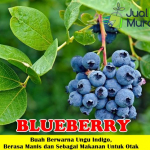 Bibit Blueberry 50cm