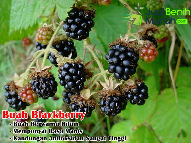 Buah Blackberry