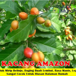 Kacang Amazon