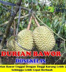 Durian Bawor Dongkelan