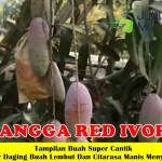 Bibit Mangga Red Ivory 70cm