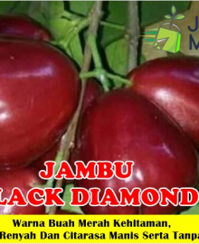 Jambu Air Black Diamond