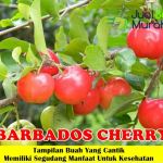 Bibit Barbados Cherry 70cm