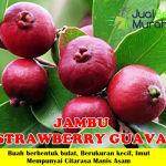 Bibit Jambu Biji Strawberry Guava 70cm