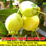 Bibit Jambu Air Mawar 70cm