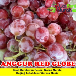 Bibit Anggur Red Globe 50cm