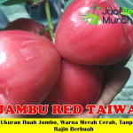 Jual Bibit Jambu Air Red Taiwan 70cm