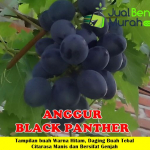 Jual Bibit Anggur Black Panther 50cm