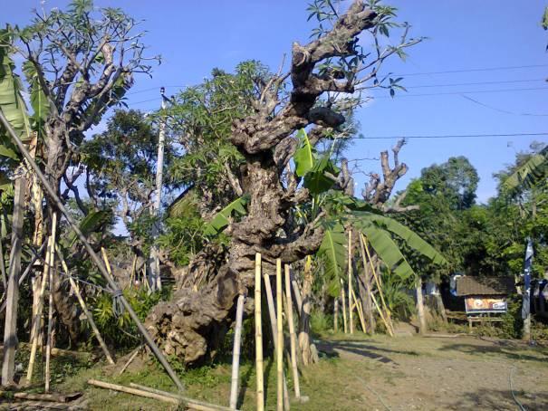 jual pohon kamboja Jakarta Selatan