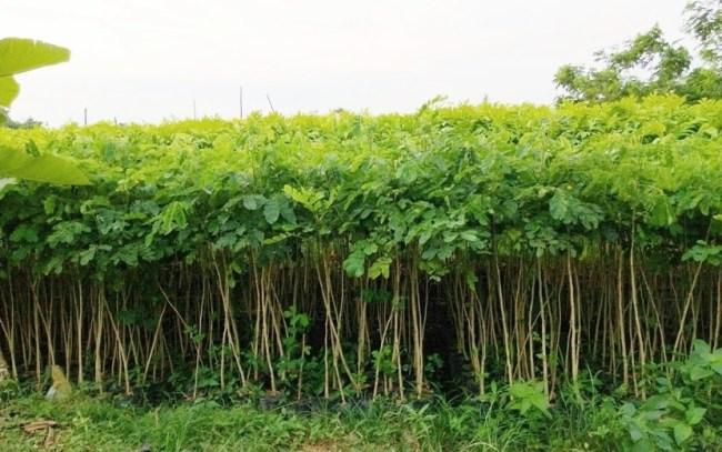 jual pohon trembesi Jayapura