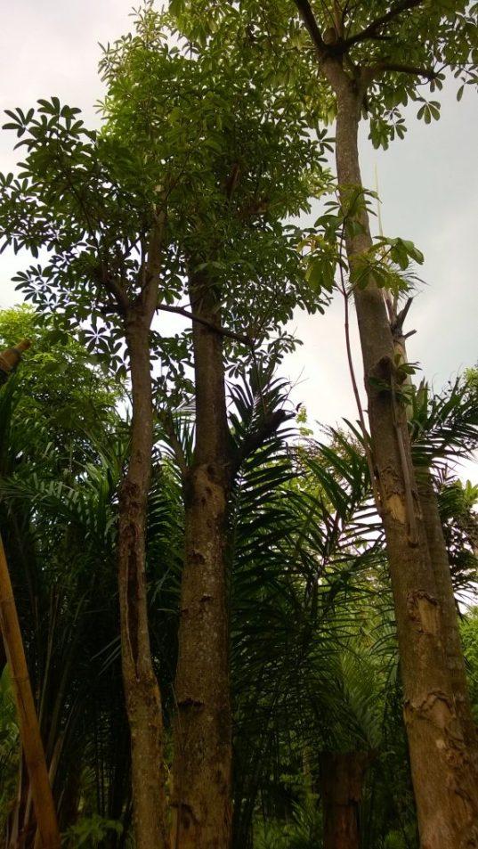 jual pohon pule Tanjungpinang