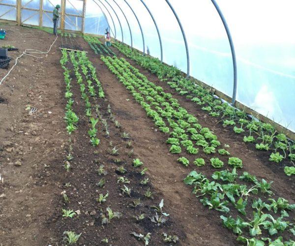 Vegbox veg growing in the greenhouse.