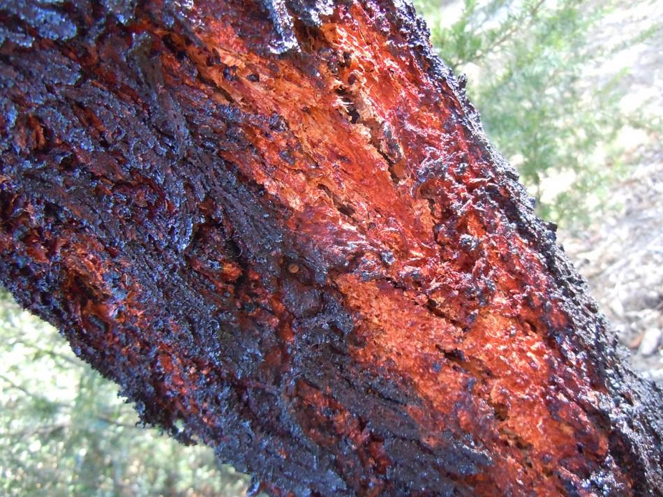 barkburnt