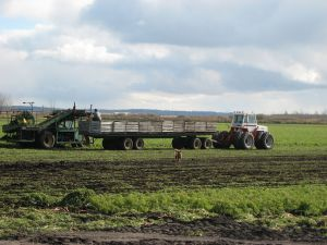 Harvesting carrots in the Holland Marsh