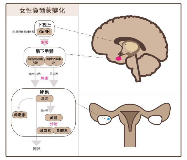 女性賀爾蒙變化_02-01