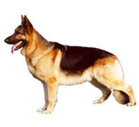German Shepherd Dog L - German Shepherd Dog