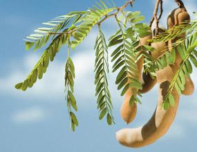 fruto de tamarindo