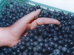 Prevenir el Alzheimer con un Jugo de Manzana, Fresas y Arándanos Frescos (Moras Azules)