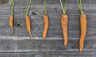 5 carrots ranging from small to regular size