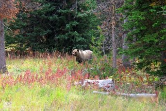 Grizzly Bear in Shoshone National Forest