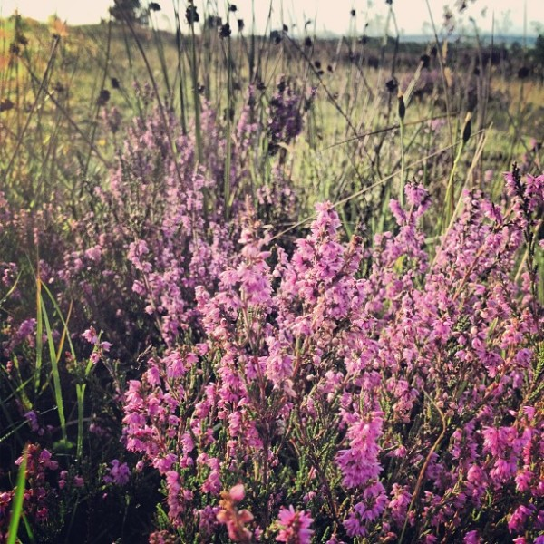 Autumn Heather