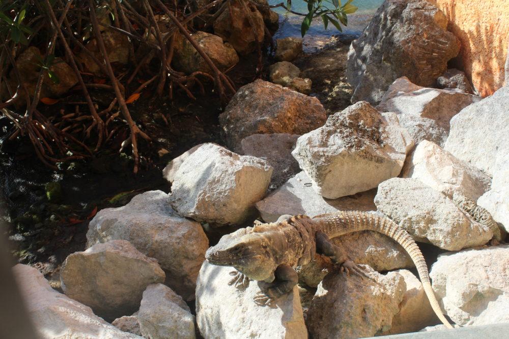 Iguanas everywhere at Grand Pallladium Resort in Riviera Maya, Mexico.