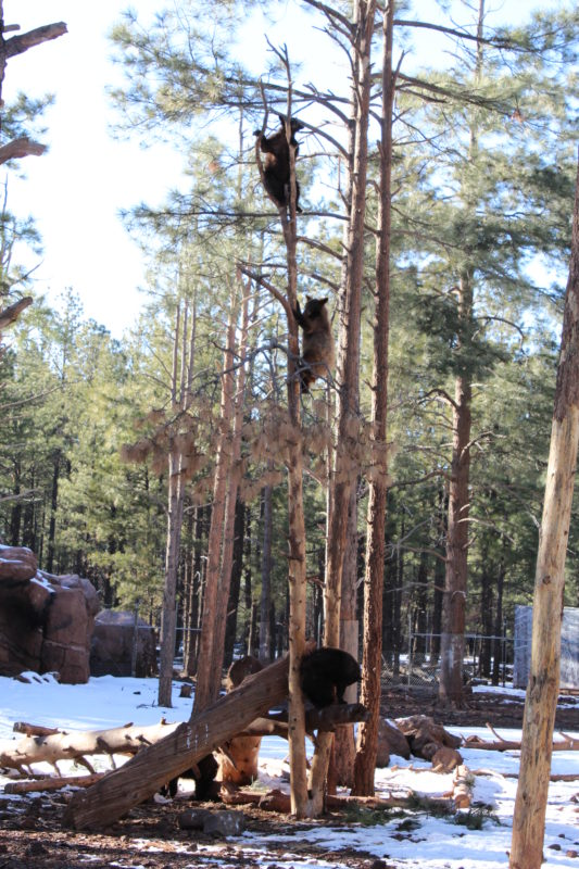 Baby bears climbing a tree at Bearizona Williams Arizona