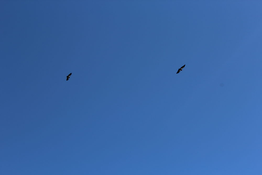 Condors flying overhead at the Grand Canyon