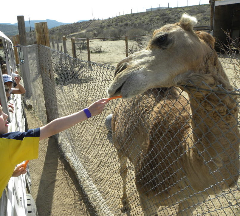 Feeding a Camel at Out of Africa Camp Verde Arizona
