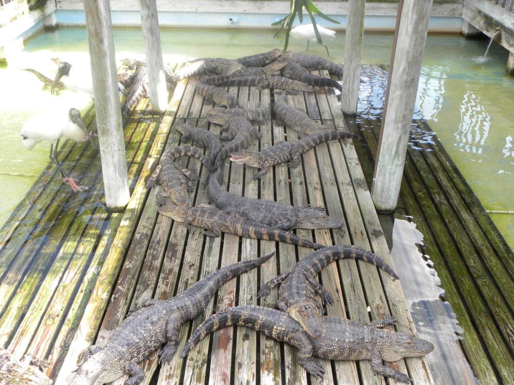 Gatorland in Orlando Florida. Family fun and edcuational. Many gators lounging on a platform